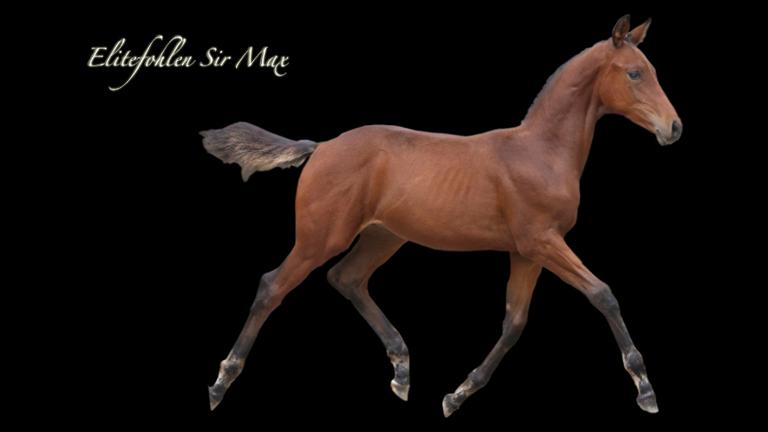 fohlen-sir-max-sportpferdezucht-girbl-2012-14