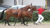 fohlen-sir-max-sportpferdezucht-girbl-2012-5